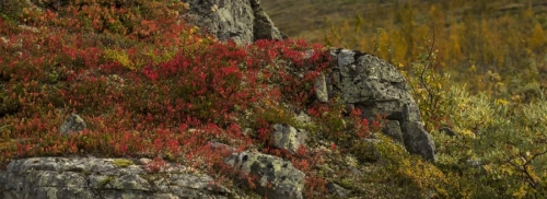 Plant roots increase carbon emission from permafrost soils